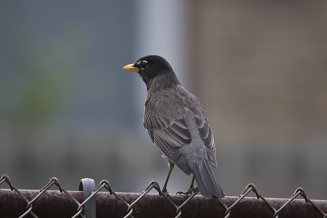 watchful robin