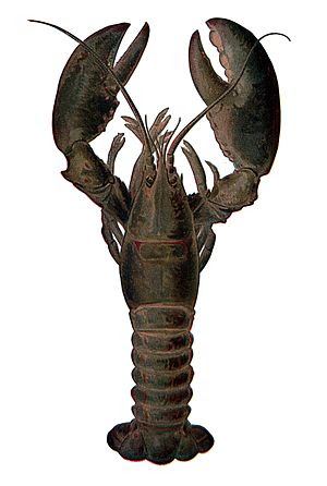 The American lobster was a staple of the colon...