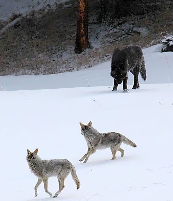 15 - Wolf Size Compared To Coyotes