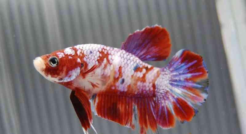 600 Koleksi Gambar Ikan Cupang Besar HD Terbaru