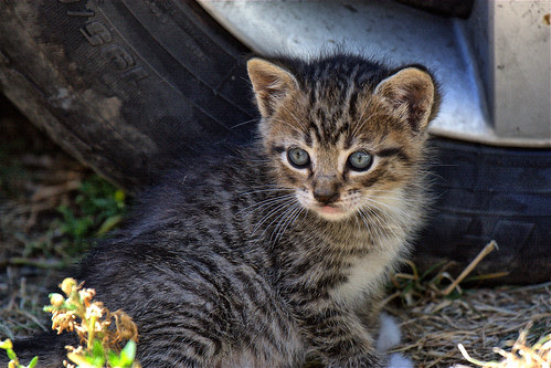 Tiny Tabby Feral Kitten