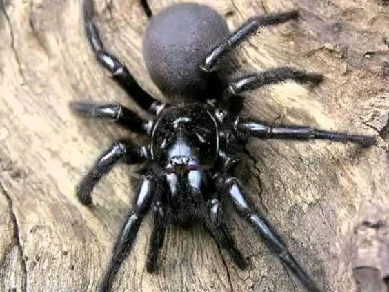 Resultado de imagen de araña sidney