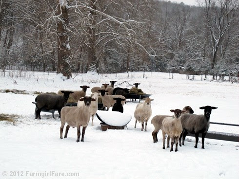 Snowy day at the sheep barn 2 - FarmgirlFare.com