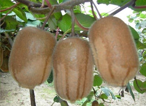 gambar buah kiwi