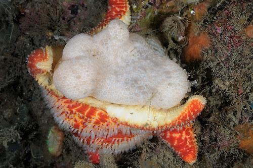 Oban-201205-InishIs-Starfish-CushionStar2-FeedingOnAlcyoniumDigitatum-PoraniaPulvillus