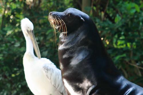 black sea lion and white pelican