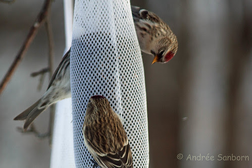 Common Redpolls (2 of 10).jpg