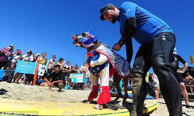 SuperDog: Hanzo the dog (pictured) gets ready to surf in tandem with Kalani in his most super awesome hero outfit