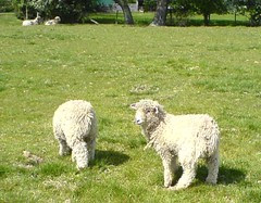 DSC00229 Lambs