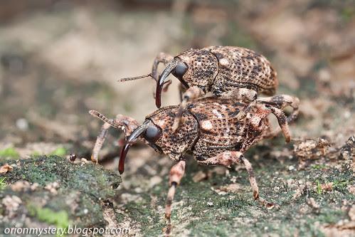 weevils mating IMG_7327 copy