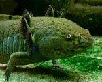 photo of Salamander