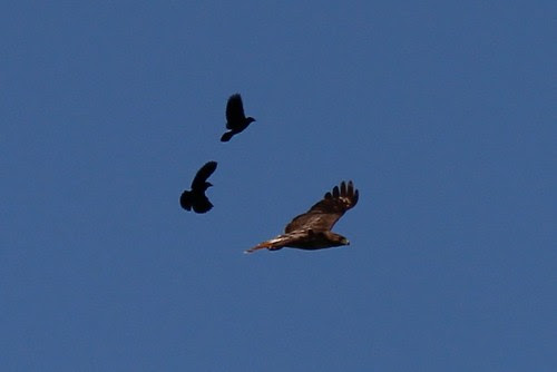 IMG_0227_Red_Wing_Blackbirds_Chasing_Red_Tail_Hawk