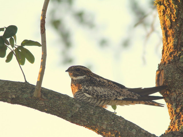 Common Nighthawk at sunrise 20110422