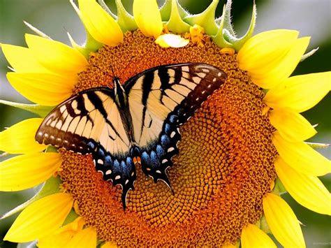 butterfly  sunflower  wallpaperscom