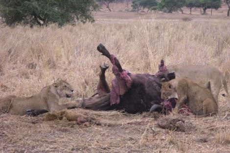 Varios leones devoran a su presa en Tanzania.   Guidna Agnes.