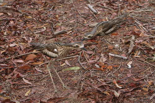 curlew2 008