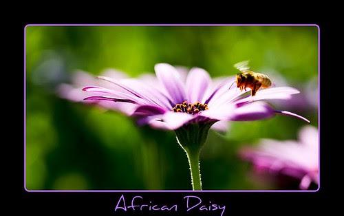 African Daisy & Bee