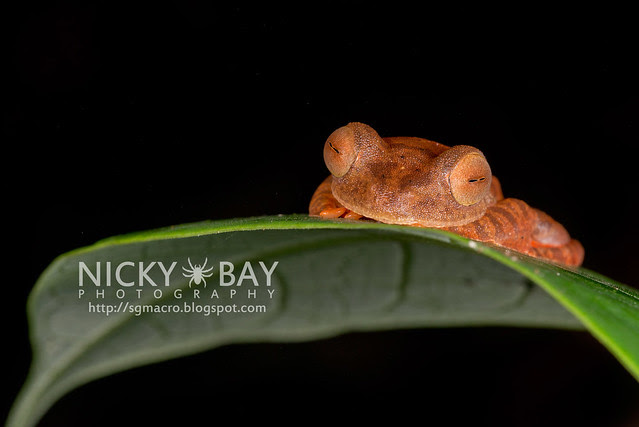 Harlequin Flying Frog (Rhacophorus pardalis) - DSC_8952