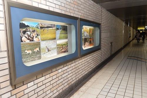 大久野島写真展「ヤセイノウサギ」2015 開催中です!