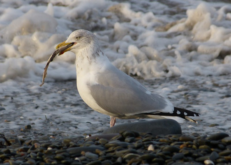 29179 - Herring Gull and fish, Aberystwyth