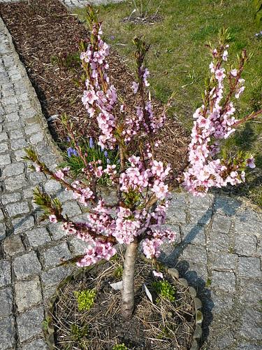 Nektarinenbaumblüte 2008