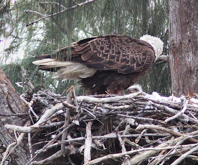 Eaglet visible 20140121