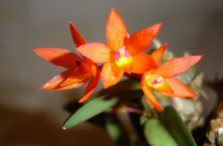 Sophronitis coccinea (Lindley)