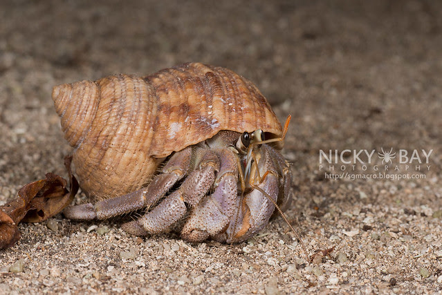 Land Hermit Crab (Coenobita sp.) - DSC_6632