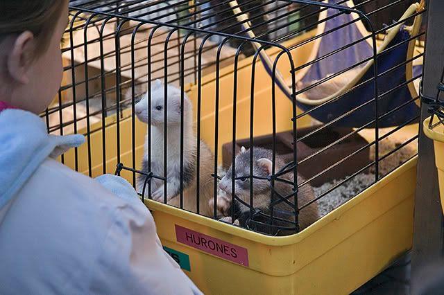 Ferrets: Captive Animals in Las Ramblas, Barcelona [enlarge]