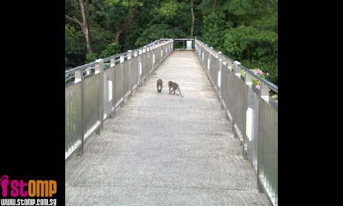 No jaywalking. Monkeys more law-abiding than humans