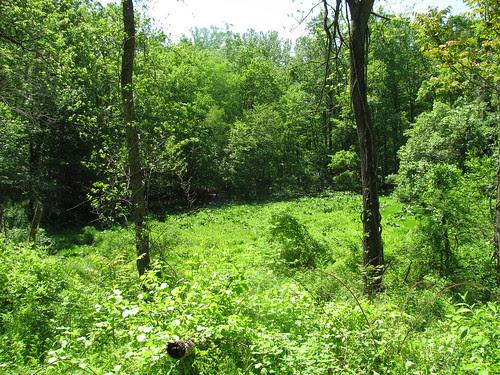Skunk Cabbage Field