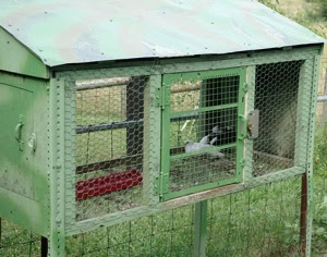 Wing Tips Propagation And Care Of Pigeons Game Birds For Dog