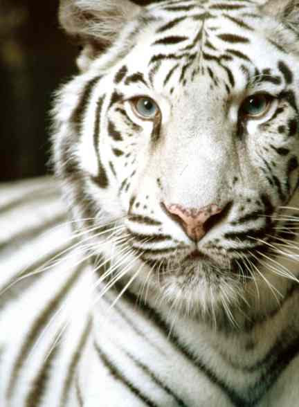 http://fohn.net/tiger-pictures-facts/white-tiger.jpg