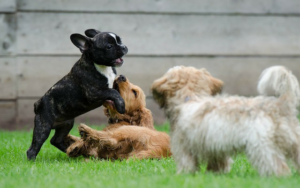 AKC Releases List of 2017's Most Popular Dog Breeds
