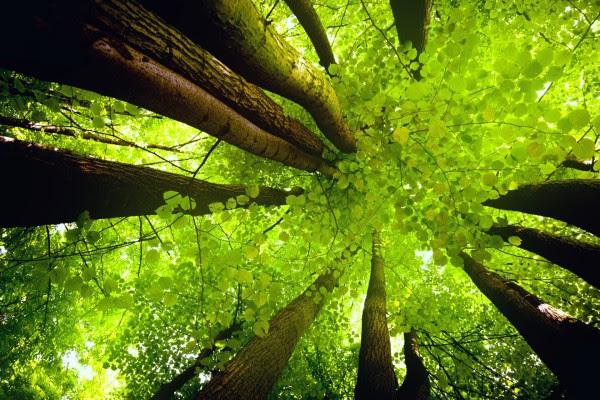 Grandes Y Frondosos árboles 51634