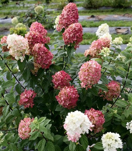 "Fire Light TM Hydrangea paniculata - 4"" pot - Proven Winners"