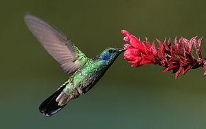Green Violet-ear -- Finca Lerida, Boquete, Panama.