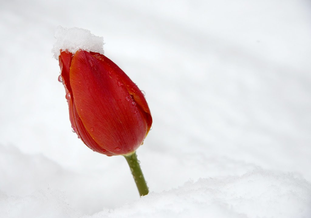 Red Tulip Capped with Snow - 303/365