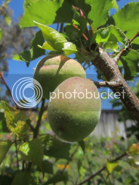 Apricots photo apricots_zps7f7ec5b8.jpg