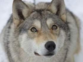 Кроткая волчица и монах пустынник. Необычная история, которая никого из Вас не оставит  равнодушным!!!