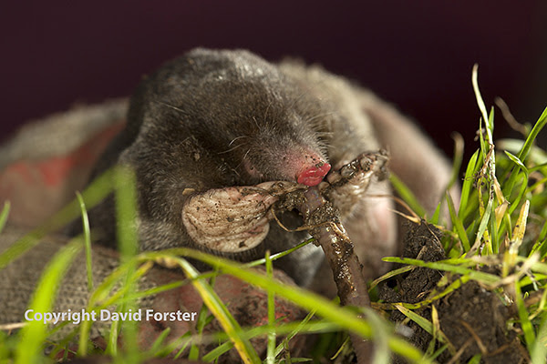 05D-6384 Close Up View of a Live Common Mole Talpa europaea Eating a Worm While Being Picked up by a Gardener UK