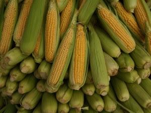 corn 300x225 Geenmuundatud mais muudab inimesed elavateks pestitsiiditehasteks?