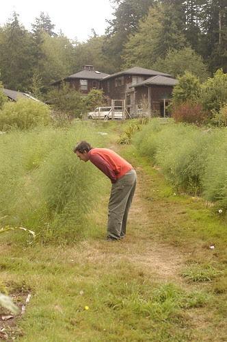 the island - the chef examines asparagus