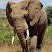 Philo the elephant.