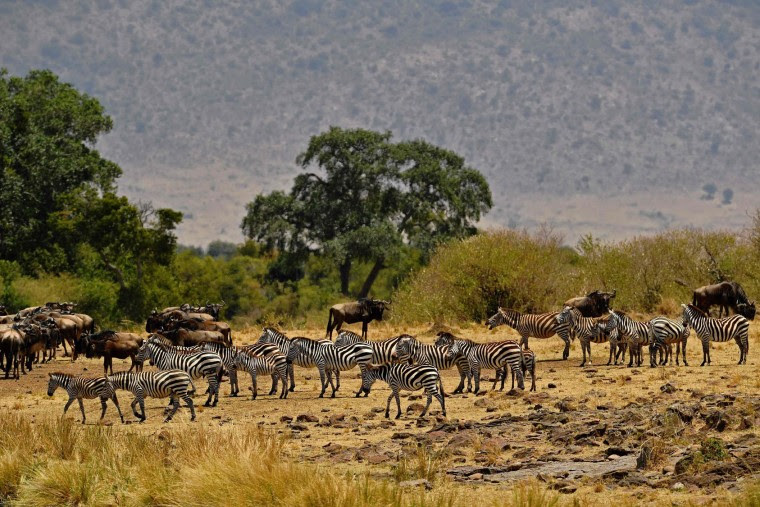 Zebra gather during the annual wildebeest migration in the Masai Mara game reserve on September 12, 2016. (Carl de Souza/AFP/Getty Images)