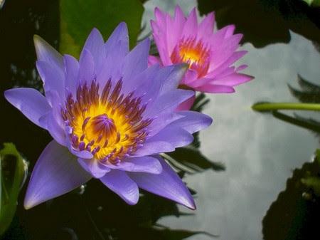 Jiopiyon The Spiritual Qualities Of The Lotus Flower Has Found Its