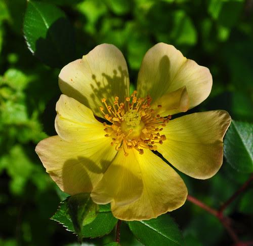 Rosa 'Sun Runner'