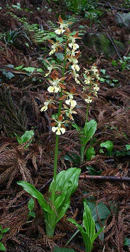 Calanthe x bicolor in habitat