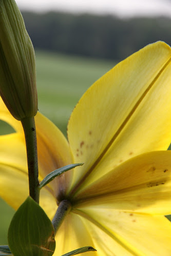 asiatic_lily_yellow