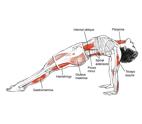 Purvottanasana Upward Plank Pose © Leslie Kaminoff's Yoga Anatomy  B E N E F I T S — Strengthens your triceps, wrists, back, and legs — Stretches your shoulders, chest, and front ankles — Frees your mind — Helps keep you open to new possibilities  ❤ Yoga Inspiration Buy it here http://amzn.to/1ctMdtp http://on.fb.me/18hDKoD
